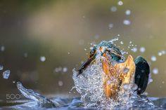kingfisher by RiccardoTrevisani #animals #pets #fadighanemmd