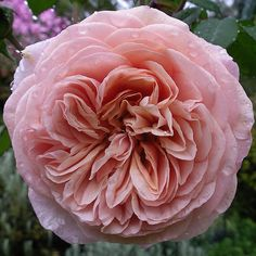 "Rose -""Leander"" Bought 8 superb David Austin roses today for the 'slope garden' - it is turning into a huge mixed border.Bought 8 superb David Austin roses today for the 'slope garden' - it is turning into a huge mixed border."