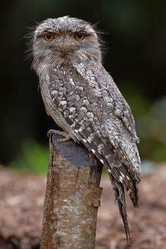 Tawny Frogmouth from Australia (Podargus strigoides) Owl Bird, Bird Art, Pet Birds, Little Birds, Love Birds, Power Animal, Reptiles, Beautiful Owl, Australian Animals