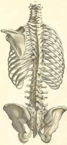Vertebral column and pelvis.: