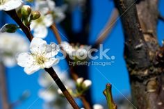 Blossom and Sky Royalty Free Stock Photo Sky Photos, Closer To Nature, Image Now, Royalty Free Stock Photos, Vibrant, Flowers, Blue, Royal Icing Flowers, Flower