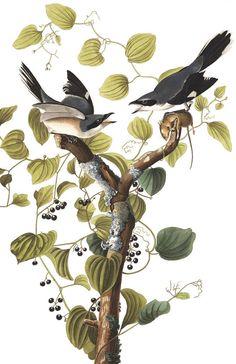Loggerhead Shrike | Audubon Free download to print for living room from Audobon's website