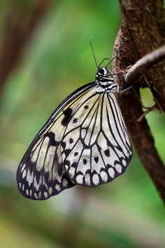 Paper Kite or Rice Butterfly (Idea leuconoe), butteflies of Thailand, Malaysia and Borneo