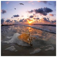 ❥ conch shell in the sunset on the beach