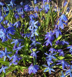 """Beautiful Scilla in my garden """"Margeritten"""" today 4/17/15 by Inger Johanne :)"""