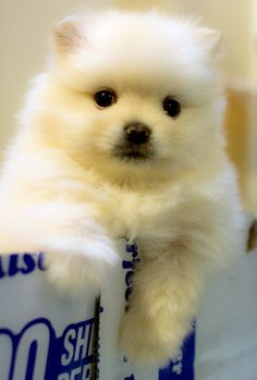 Such a cute pomeranian