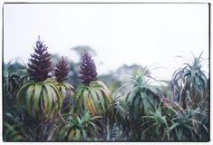 Dracophyllum traversii.jpg