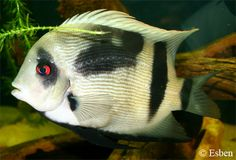 """Uaru fernadezyepezi - ~10"""" Colombian cichlid related to discus, highly expensive and challenging to keep"""