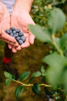 Unsere Blaubeeren beziehen wir von einer Farm in Dorset, UK, wo sie von Juni bis September per Hand geerntet werden.
