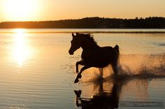Arabian galloping through the lake by Edyta Trojańska-Koch - Photo 168720189 / Beautiful Horse Pictures, Most Beautiful Animals, All The Pretty Horses, Horse Photos, Horse Photography, Horse Love, Wild Horses, Equestrian, Sunrises