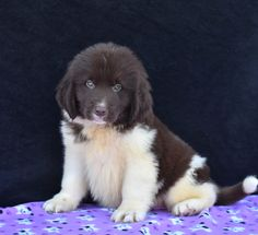 Lancaster Puppies makes it easy to find healthy puppies from reputable dog breeders across Pennsylvania, Ohio, and more. Newfoundland Puppies, Lancaster Puppies, Puppies For Sale, Labrador Retriever, Adoption, Happy, Dogs, Animals, Labrador Retrievers