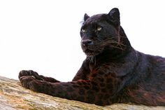fuck with me, panther.