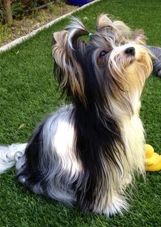 Diamond: Biewer Terrier