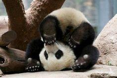 A panda rolling on its head.
