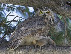 How to Attract Great Horned Owls  Let them find you. If you live in an area that meets their needs — ample feeding and nesting habitat — they'll likely call your neighborhood home. They can be spotted on tree branches, cliffs, light posts or rooftops. Sometimes they can even be seen hunting during the day, especially in winter.   Photo by Jim Peaco for Yellowstone National Park
