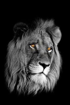 Black-and-white portrait of an African lion (Panthera leo) with intense yellow eyes isolated on a black background Stock Photo