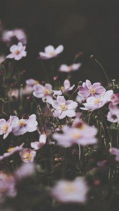 drxgonfly:Soft pink anemone florals (by Annie Spratt) Wallpaper HD Wallpaper Nature Flowers, Flower Wallpaper, Wallpaper Backgrounds, Nature Aesthetic, Flower Aesthetic, Aesthetic Pastel, Animes Wallpapers, Cute Wallpapers, Iphone Wallpapers