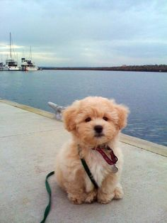 "It's called the ""teddy bear dog."" Half shih-tzu and half bichon frise. OMG way too cute for words"