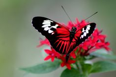 Beautiful Butterflies are one of a lot of varied as well as attractive insects worldwide. Beautiful Butterfly Pictures, Butterfly Photos, Butterfly Kisses, Butterfly Flowers, Beautiful Butterflies, Beautiful Birds, Flying Flowers, Butterfly Cookies, Gorgeous Gorgeous