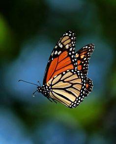 Beautiful monarch