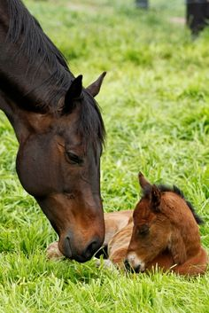 Black Caviar's first foal named Oscietra : Australia Horse Breeding and Racing news updated daily, www.thoroughbrednews.com.au