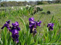 Old fashioned irises in a field weedinwaterinwatchin.com