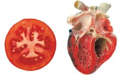 Hippocrate a dit: «Que ton alimentsoit ton médicament et que ton médicament soit ton aliment.» Et il se trouve que de nombreux aliments entiers et naturels ressemblent étroitement aux organes et aux parties du corps pour lesquelles ils sont utiles! Dans les enseignements occultes, (occulte signifie simplement ce qui est caché), cela est bien connu. …