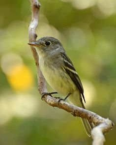 Empidonax flaviventris - Yellow-bellied Flycatcher -- Sighted: 05/20/2017 Central Park, New York, NY