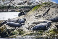 A Sea Safari in Howe Sound, British Columbia - and you'll see lots of harbour seals