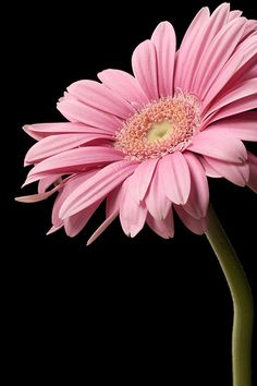 Gerbera Daisy...such a beautiful pink!
