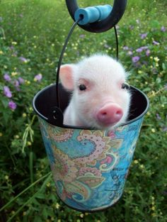 Mini Pig or known as Teacup Pig is a breed first developed for medical research then it becomes popular as pet in Mini pigs, growing to about 14 inches Cute Baby Pigs, Cute Piggies, Cute Baby Animals, Animals And Pets, Funny Animals, Cute Babies, Farm Animals, Baby Piglets, Vegan Animals