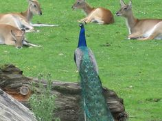 Pavão e antilopes no jardim zoológico de Hellbrunn Peacock, Bird, Animals, Zoological Garden, Salzburg, Pictures, Animales, Animaux, Birds