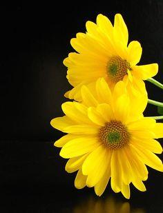 Bright Yellow Daisies - Peek-a-Boo!