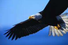 - Bald eagles make comeback in the Windy City Types Of Eagles, Free Poems, Eagle In Flight, Isaiah 40 31, Psalm 17, Wings Like Eagles, Eagle Wings, Eagle Eye, Bird Wings