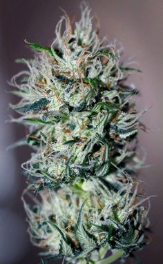 420 Weed Seeds Shop The best Cannabis Seeds For All needs : Feminized ,AutoFlowering and Regular Marijuana seeds.Grow your own weed out of seed Medical Cannabis, Cannabis Oil, Cannabis Edibles, Cannabis Growing, Whatsapp Text, Marijuana Plants, Buy Weed Online, Smoking Weed, Hemp Oil