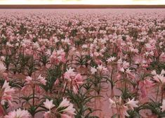 Sandhof lilies bloom for the first time in three years in Namibia [photos] Amaryllis Plant, Lily Bloom Bags, Pale Blue Dot, Namib Desert, Plant Species, Blooming Flowers, The Visitors, Natural Wonders, Shrubs