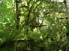 pluvial forest - Pesquisa Google