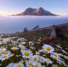 Wildflower season is the best time to visit Mt St Helens for those epic foregrounds - daisies everywhere! Photo by Explore. Beautiful World, Beautiful Places, Beautiful Scenery, Beautiful Landscapes, Nature Photography, Travel Photography, Illusion Photography, Amazing Photography, Landscape Photography