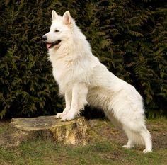 German Shepherd Colors, White Swiss Shepherd, German Shepherd Dogs, Beautiful Dogs, Animals Beautiful, Shiloh Shepherd, Funny Dog Videos, Dog Mom, Dog Pictures