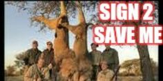 Janine Van Norman, Chief, Branch of Foreign Species, USFWS: List The African Lion As Endangered/Ban Importation of Lion Trophies PLEASE SIGN PLEASE SHARE PLEASE BE THE VOICE OF THE TORTURED VOICELESS ANIMALS OF THE WORLD!