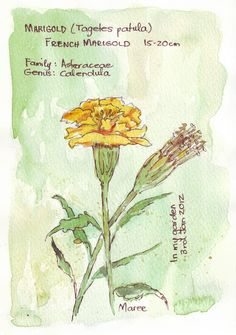 Sketching in Nature: French Marigolds - Maree