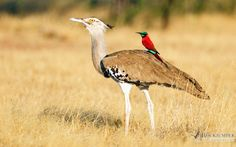 Northern Carmine Bee-eater and Kori Bustard by Rich Lindie (Image of the month - August 2015)  http://ow.ly/RSiEU