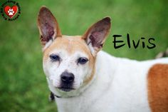 Meet Elvis ***Adoption Fee Sponsored***, an adoptable Jack Russell Terrier looking for a forever home. If you're looking for a new pet to adopt or want information on how to get involved with adoptable pets, Petfinder.com is a great resource.