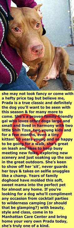 SUPER URGENT 12/02/16 Manhattan Center – PRADA A1098443 FEMALE, BROWN / WHITE, AM PIT BULL TER, 10 yrs OWNER SUR – EVALUATE, NO HOLD Reason MOVE2PRIVA Intake condition UNSPECIFIE Intake Date 12/02/2016, http://nycdogs.urgentpodr.org/prada-a1098443/