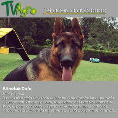#AnotaElDato ¿Sabes cuánto tiempo vivió el perro más viejo de la historia?