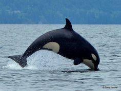 A baby #Orca kiss