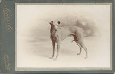 c.1890s cabinet card of a whippet owned by Mr. William Charles. This is the second of two photos of either the same dog or another whippet that William Charles, who was associated with the Brooke Bond Tea Company, owned. Photo by Newton & Co., Kingston, London. From bendale collection