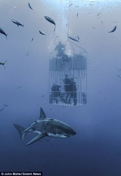 Massive Great White shark dwarfs cage divers in underwater photos Largest Great White Shark, Shark Diving, Shark Swimming, Cage Diving With Sharks, Underwater Drawing, Underwater Photos, Shark Cage, Shark Facts, Nature