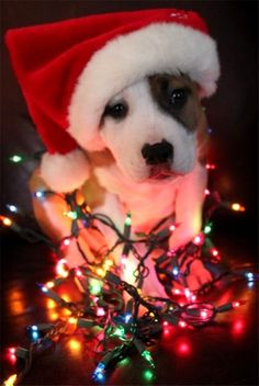 pitbull puppy with Christmas lighting and hat