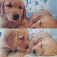 Little Cuties - Golden Retriever puppies Cute Puppies, Cute Dogs, Dogs And Puppies, Doggies, Labrador Puppies, Retriever Puppies, Animals And Pets, Baby Animals, Cute Animals